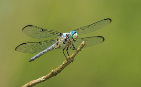 pruinose: Male Great Blue Skimmer dragonfly Libellula vibrans perching on a twig during the Spring