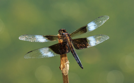 Widow Skimmer dragonfly Libellula luctuosa resting on a twig in Maryland during the Spring photo