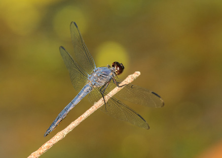 Slaty Skimmer dragonfly Libellula incesta sitting on a twig in Maryland during the Spring Stock Photo