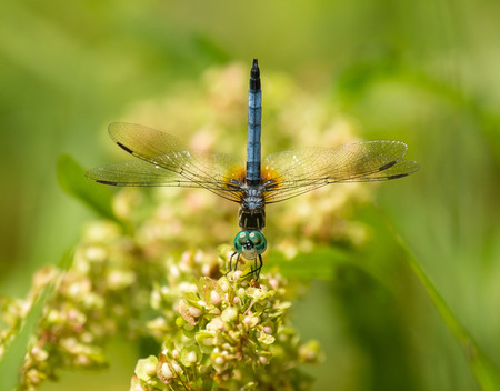 pruinose: Male Blue Dasher dragonfly Pachydiplax longipennis demonstrating the obelisk posture Stock Photo