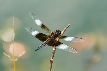 pruinescence: Widow Skimmer dragonfly Libellula luctuosa resting on a twig in Maryland during the Spring