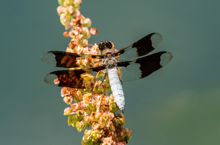 Male Common Whitetail dragonfly Plathemis lydia perching on a wildflower in Maryland during the Summer