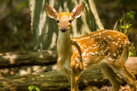 White-tailed Deer fawn Odocoileus virginianus standing in shady woodland in Maryland during the Summer