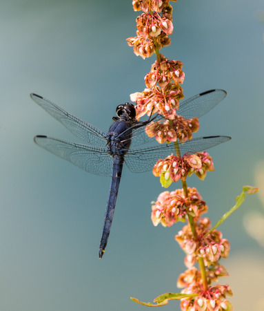 Slaty Skimmer dragonfly Libellula incesta perching on a pink wildflowers in Maryland during the Summer