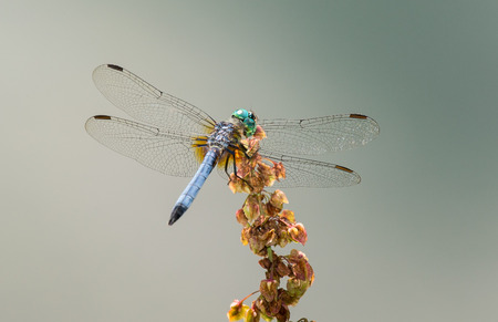 pruinescence: Male Blue Dasher dragonfly Pachydiplax longipennis resting on wildflowers in Maryland during the Summer