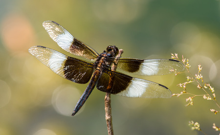 pruinose: Widow Skimmer dragonfly Libellula luctuosa resting on a twig in Maryland during the Summer