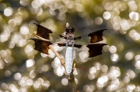 odonatology: Male Common Whitetail dragonfly Plathemis lydia perching on a twig in Maryland during the Summer Stock Photo