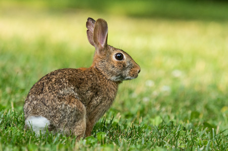 Eastern Cottontail rabbit Sylvilagus floridanus sitting in vegetation in Maryland during the Summer Stock Photo