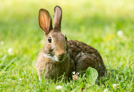 leporidae: Eastern Cottontail rabbit Sylvilagus floridanus sitting in vegetation in Maryland during the Summer Stock Photo