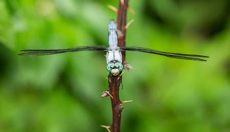 Male Great Blue Skimmer dragonfly Libellula vibrans perching on a twig during the Summer