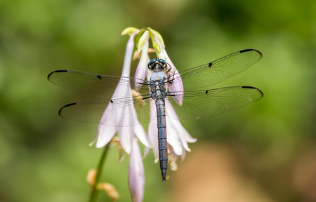 libellula: Male Great Blue Skimmer dragonfly Libellula vibrans perching on a Hosta flower during the Summer