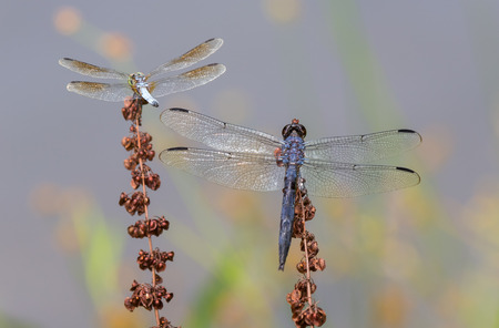 Slaty Skimmer Libellula incesta and Blue Dasher Pachydiplax longipennis dragonflies perching on wildflowers during the Summer