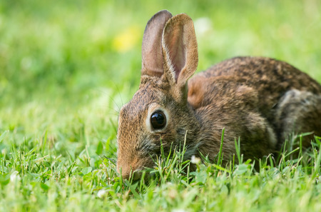 lagomorpha: Eastern Cottontail rabbit Sylvilagus floridanus sitting in vegetation in Maryland during the Summer Stock Photo