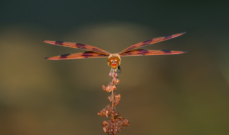 odonatology: Halloween Pennant dragonfly Celithemis eponina perching on a wildflower in Maryland during the Summer Stock Photo