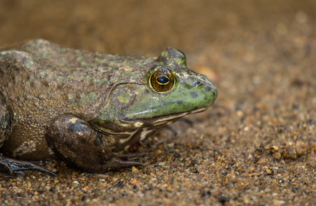 Profile of an American Bullfrog Lithobates catesbeianus sitting on a streambed in Maryland during the Spring