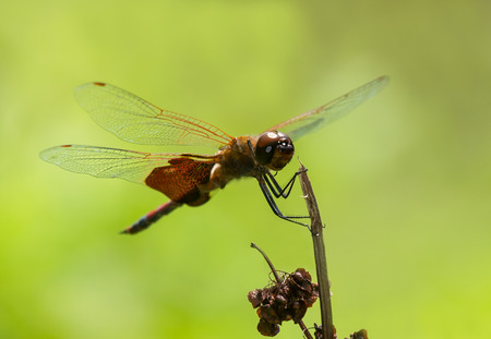 pruinescence: Carolina Saddlebags dragonfly Tramea carolina perching on a wildflower stem during the Summer