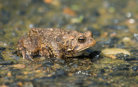 wetland conservation: Eastern American Toad Anaxyrus americanus resting on wet gravel in Maryland during the Spring