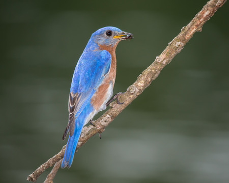 Eastern Bluebird Sialia sialis perching on a branch in Maryland during the Spring photo