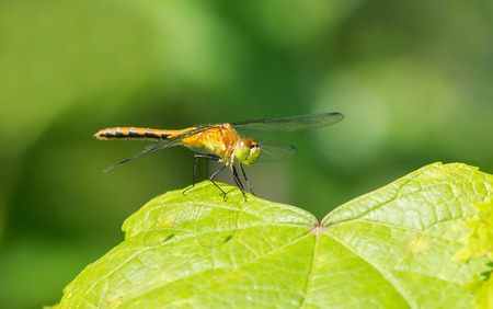 Female White-faced Meadowhawk dragonfly Sympetrum obtrusum perching on a leaf in Maryland during the Summer photo