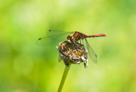 faced: White-faced Meadowhawk dragonfly Sympetrum obtrusum perching on a flower in Maryland during the Summer