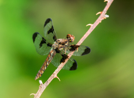 pruinescence: Female Common Whitetail Plathemis lydia dragonfly perching on a twig by a lake in Maryland during the Summer Stock Photo