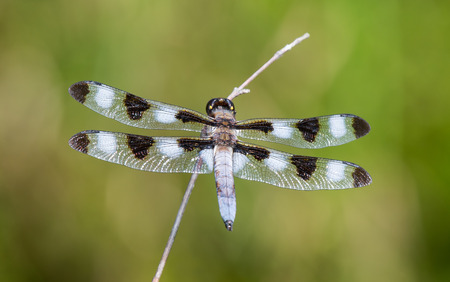 Twelve-spotted Skimmer dragonfly Libellula pulchella resting on a twig during the Summer photo