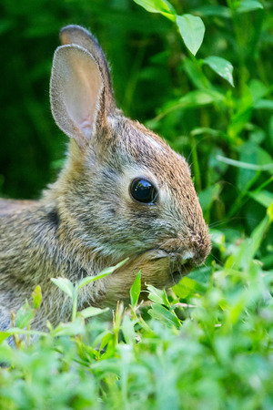 lagomorpha: Young Eastern Cottontail rabbit Sylvilagus floridanus sitting in vegetation in Maryland during the Summer