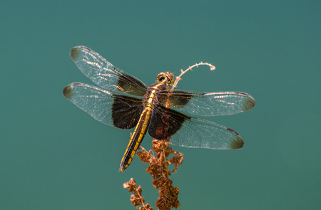 Widow Skimmer dragonfly Libellula luctuosa resting on a wildflower stem in Maryland during the Summer Stock Photo