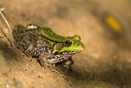 mottling: Northern Green Frog Lithobates clamitans melanota sitting on a stream bed in Maryland during the Spring