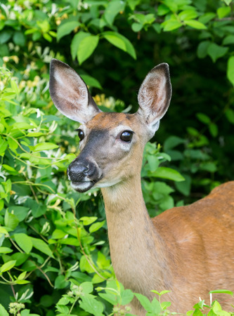 virginianus: White-tailed Deer doe Odocoileus virginianus standing in shady woodland in Maryland during the Summer