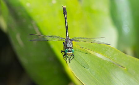 pruinescence: Unicorn Clubtail dragonfly Arigomphus villosipes resting on a leaf by a lake in Maryland during the Summer