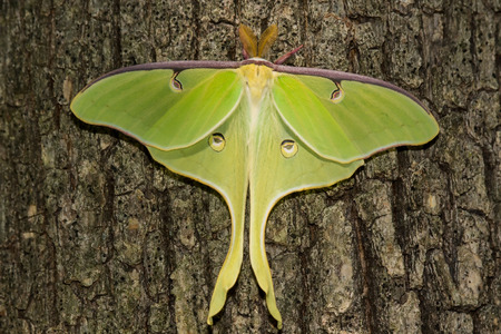 Luna Moth Actias luna perching on an oak tree in Maryland during the Spring
