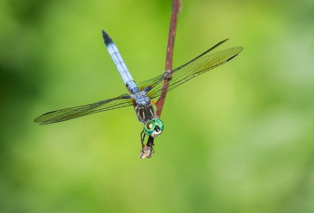 urban wildlife: Blue Dasher dragonfly Pachydiplax longipennis resting on a twig during the Summer
