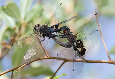 copulation: Black Saddlebags dragonflies Tramea lacerata in wheel formation during copulation during the Summer Stock Photo