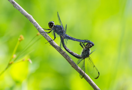 odonatology: Slaty Skimmer dragonflies Libellula incesta in wheel formation during copulation during the Summer