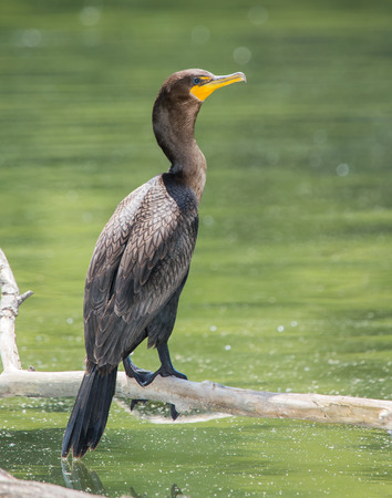 suliformes: Double-crested cormorant Phalacrocorax auritus perching on a log in Maryland during the Summer