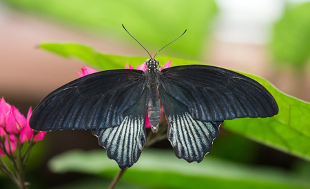 entomological: Great Mormon butterfly Papilio memnon perching on a pink flower
