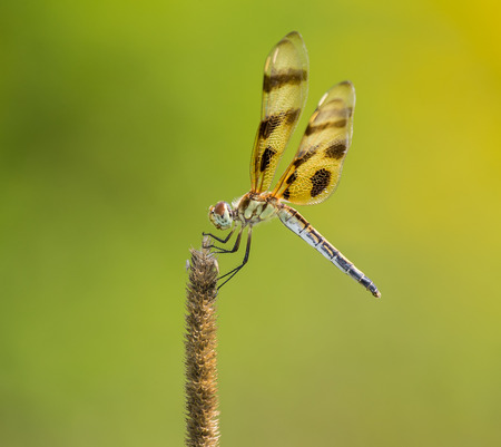 Halloween Pennant dragonfly Celithemis eponina perching on a wild grass stem in Maryland during the Summer photo