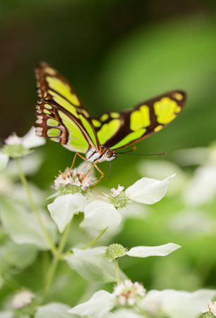 Dido Longwing butterfly Philaethria dido feeding on white flowers