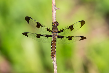 Female Common Whitetail Plathemis lydia dragonfly perching on a twig by a lake in Maryland during the Summer Stock Photo