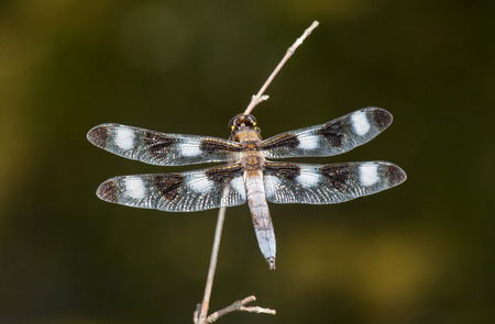 pruinose: Twelve-spotted Skimmer dragonfly Libellula pulchella resting on a twig during the Summer Stock Photo