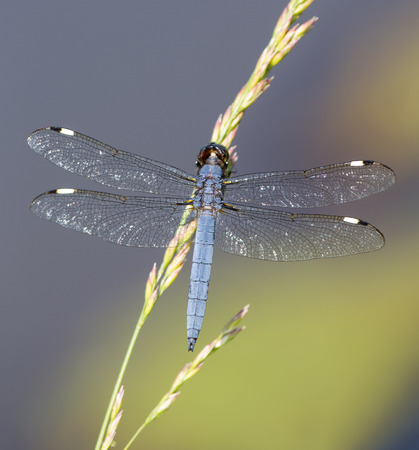odonatology: Spangled Skimmer Libellula cyanea dragonfly perching on a grass stem in Maryland during the Spring