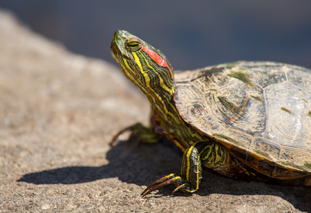 Red-eared Slider pond turtle Trachemys scripta elegans basking on a rock during the Spring photo