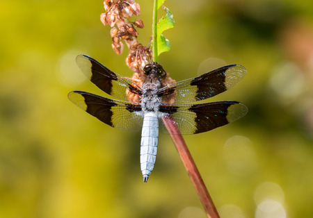 pruinescence: Common Whitetail dragonfly Plathemis lydia perching on a wildflower in Maryland during the Summer Stock Photo