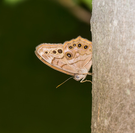 north american butterflies: Northern Pearly Eye Enodia anthedon butterfly perching on a tree trunk in Maryland during the Summer Stock Photo