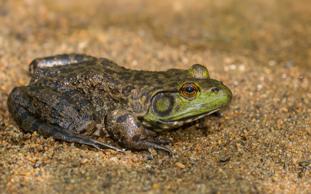 American Bullfrog Lithobates catesbeianus sitting on a streambed in Maryland during the Spring