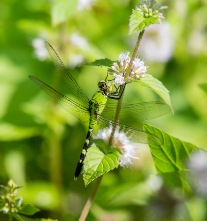 erythemis: Eastern Pondhawk dragonfly Erythemis simplicicollis resting on a wildflower in Maryland during the Summer Stock Photo