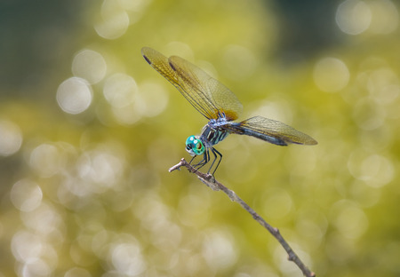 pruinose: Blue Dasher dragonfly (Pachydiplax longipennis) resting on a twig in Maryland during the Summer