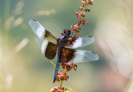 pruinose: Widow Skimmer dragonfly (Libellula luctuosa) resting on a wildflower stem in Maryland during the Summer Stock Photo