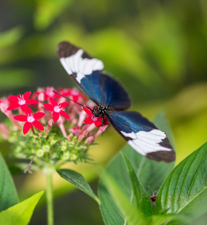 Sapho Longwing butterfly Heliconius sapho feeding on a pink flower Stock Photo